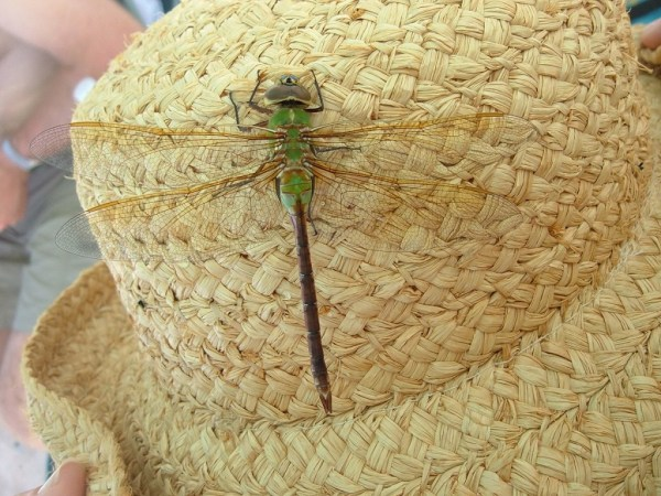 Green Darner Dragonfly -  on jeans straw hat - Oxtongue lake - Ontario