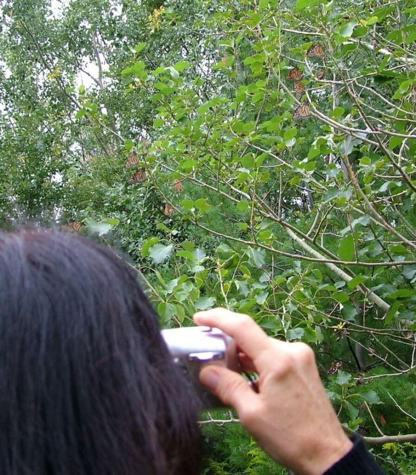 Monarch butterflies in trees at Milliken Park - Toronto - Ontario