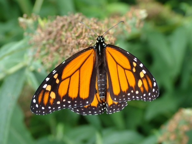 Monarch butterfly - Toronto - Ontario