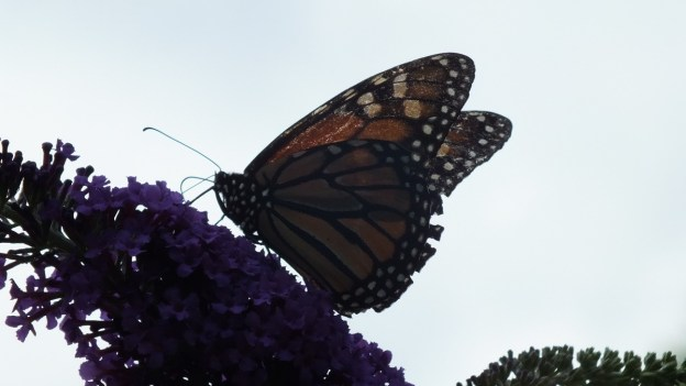 Monarch butterfly with damaged wings - Jeans garden in Toronto - Ontario
