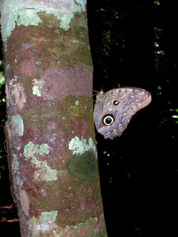 Owl butterfly, Sandoval lake, amazon jungle, peru, frame to frame bob and jean