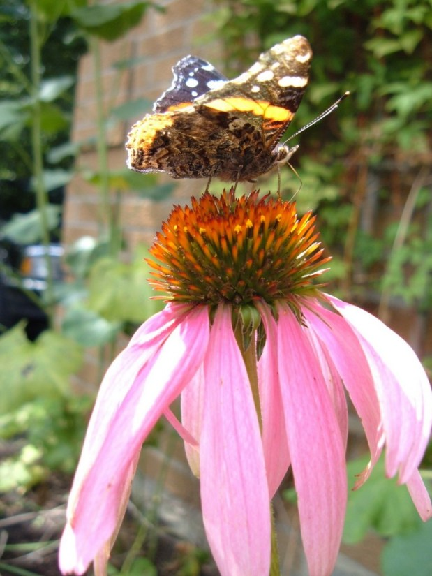 Red Admiral butterfly in jeans garden, toronto, ontario