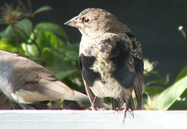 brown headed cowbird - juvenile - on arbour - toronto