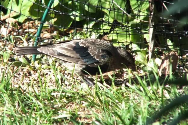 brown headed cowbird - juvenile - on the ground - toronto