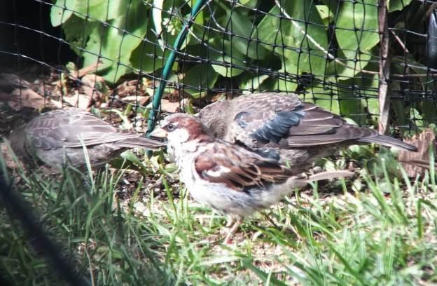 brown headed cowbirds - on the ground - toronto - ontario
