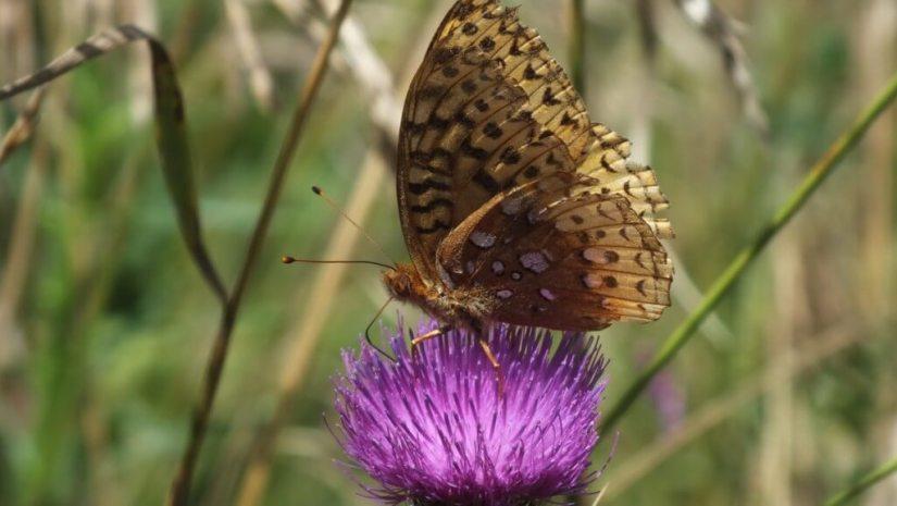 great spangled fritillary butterfly - profile - near little britian - ontario