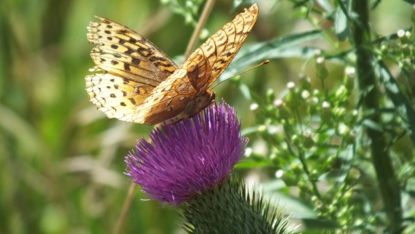 great spangled fritillary butterfly - top and bottom - near little britian - ontario