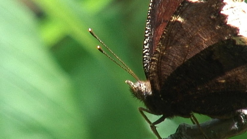 mourning cloak butterfly, forks of the credit provincial park, ontario
