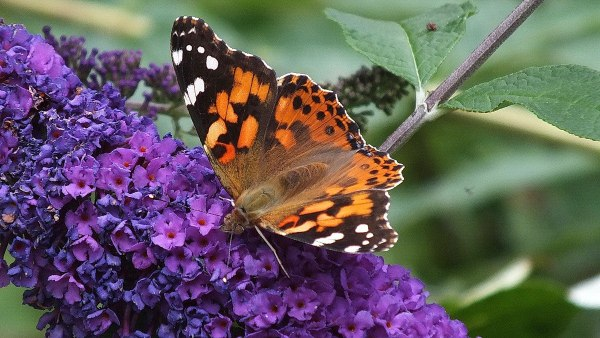 painted lady butterfly in jeans garden, toronto