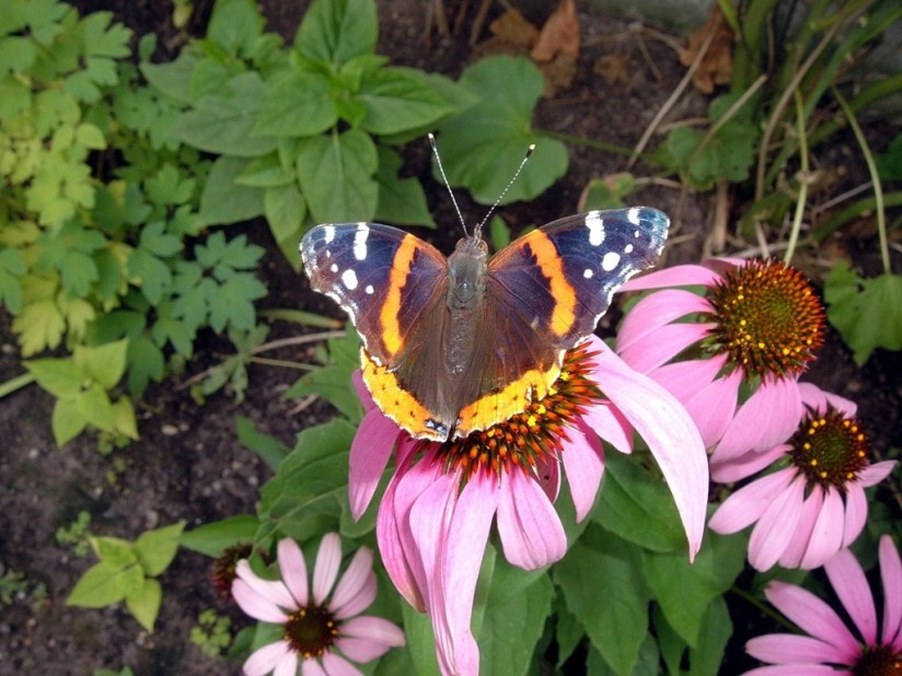 red admiral butterfly - in Jeans garden - toronto