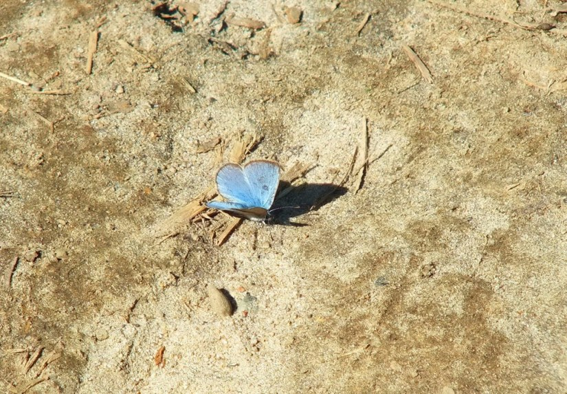 silvery blue butterfly - forks of the credit