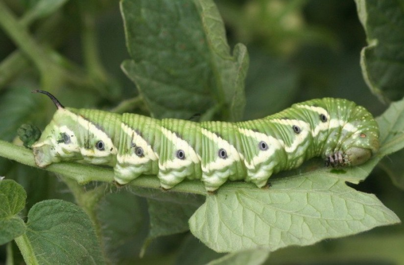 tomato hornworm caterpillar sits on leaves