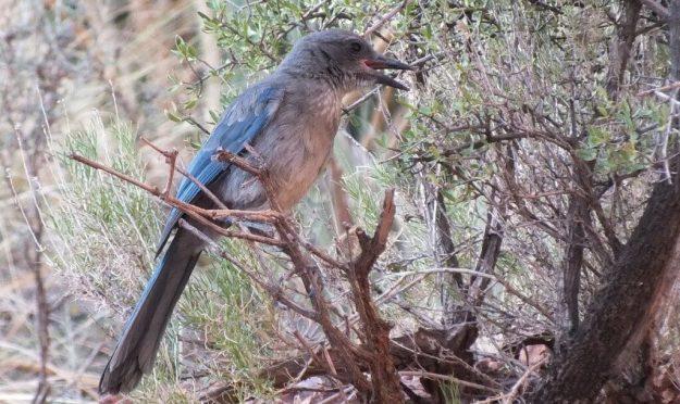 western scrub jay with beak open, bright angel trail, grand canyon