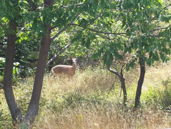 white tailed deer at frontenac provincial park, ontario