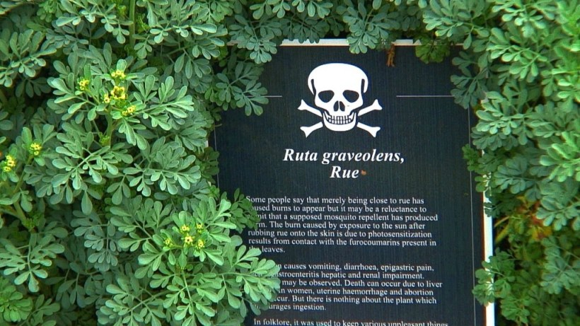 A image of the rue plant sign in the Poison Garden at Blarney Castle in Ireland. Photograph by Frame To Frame - Bob and Jean.