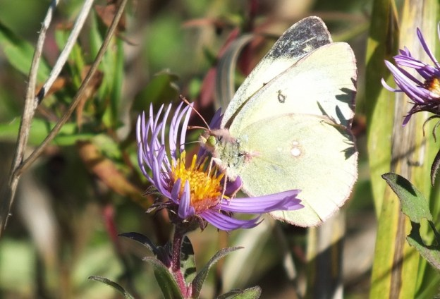 clouded sulpher butterfly, sits on flower and collects nectar, Lynde Shores Conservation Area, whitby, ontario