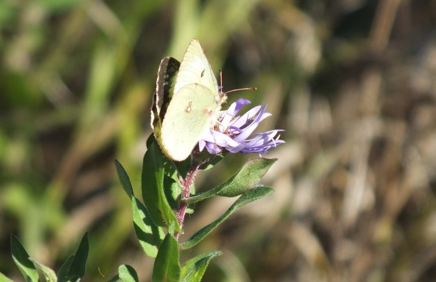 clouded sulpher butterfly, sitting atop a purple flower, Lynde Shores Conservation Area, whitby, ontario