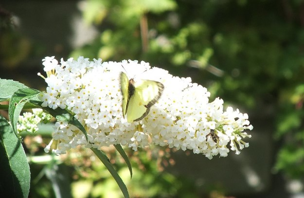 clouded sulpher butterfly, sitting atop white butterfly bush, rosetta mcclain gardens, ontario