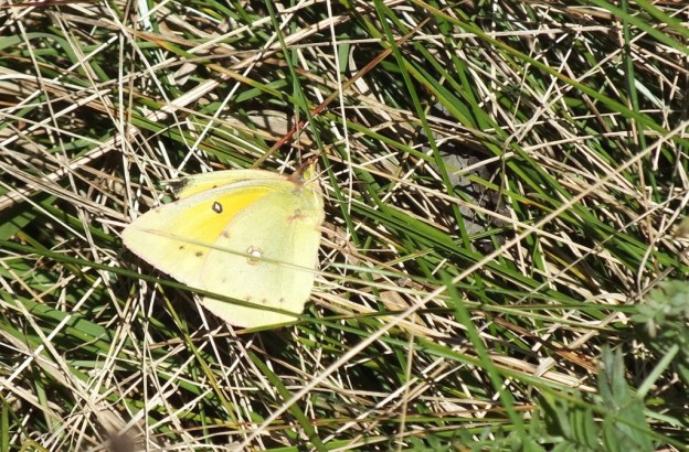 clouded sulpher butterfly, sitting on ground on grass, Lynde Shores Conservation Area, whitby, ontario