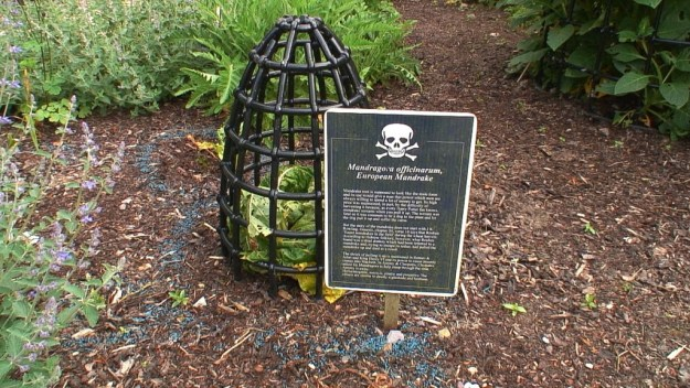 European Mandrake growing behind bars in the Poison Garden at Blarney Castle in County Cork, in Ireland