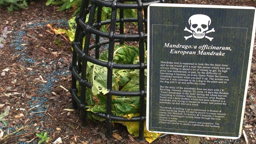 European Mandrake growing behind bars in the Poison Garden at Blarney Castle in County Cork, Ireland
