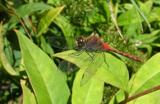white-faced meadowhawk dragonfly, eats on a green leaf, rosetta mcclain gardens, toronto