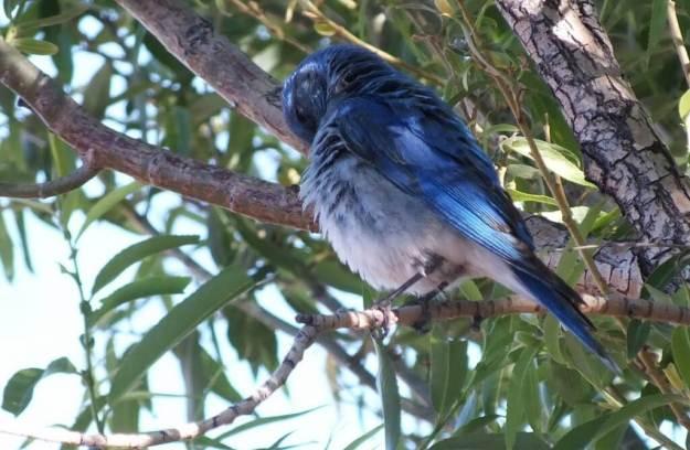 mountain bluebird in tree at grand canyon heliport, arizona