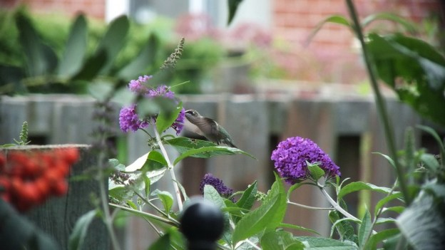 ruby-throated hummingbird feeds at butterfly bush, toronto, ontario