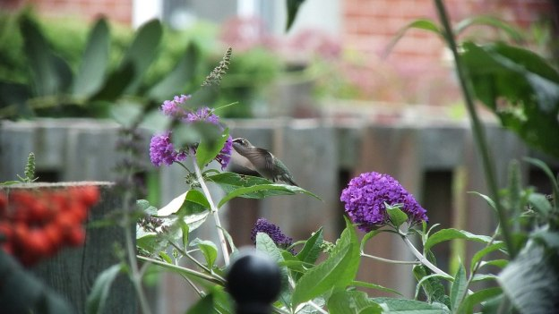 ruby-throated hummingbird feeds at butterfly bush, toronto, ontario