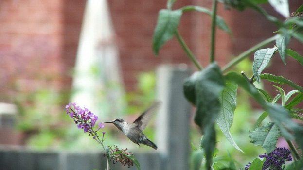 ruby-throated hummingbird in backyard at butterfly bush, toronto, ontario