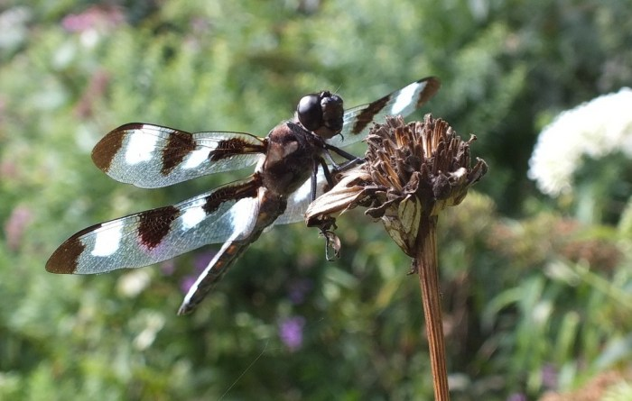 twelve spot skimmer dragonfly holds tongue out, rosetta mcclain gardens, toronto