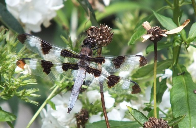 twelve spot skimmer dragonfly, sits on dry flower head, rosetta mcclain gardens, toronto