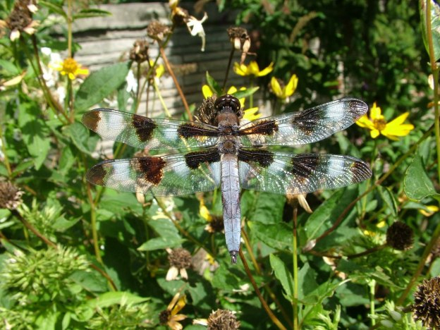 twelve-spotted skimmer dragonfly, sits on flower head, rosetta mcclain gardens, toronto