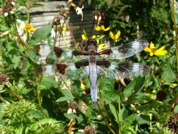 twelve-spotted skimmer dragonfly, sits on flower head, rosetta mcclain gardens, toronto