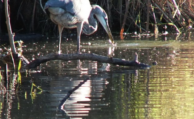 Great blue heron-lynde shores