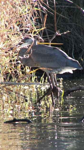 Great blue heron-with catch-lynde shores