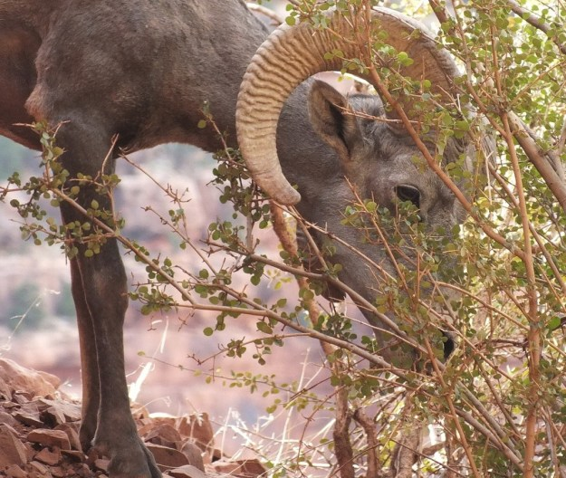bighorn sheep grand canyon 10
