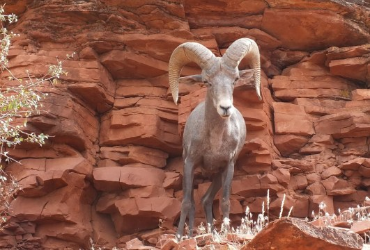 An image of a bighorn sheep along a hiking trail at Grand Canyon National Park in Arizona, USA. Photography by Frame To Frame - Bob and Jean.