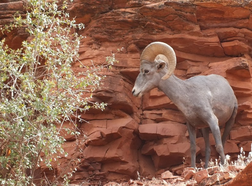 bighorn sheep grand canyon 3