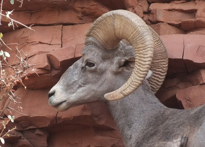 bighorn sheep grand canyon 7