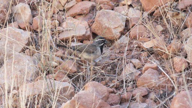 black-throated sparrow, bright angel trail 4b