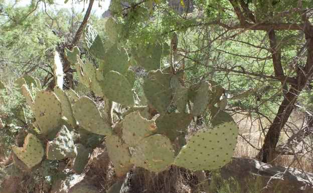 cactus on bright angel trail 21b