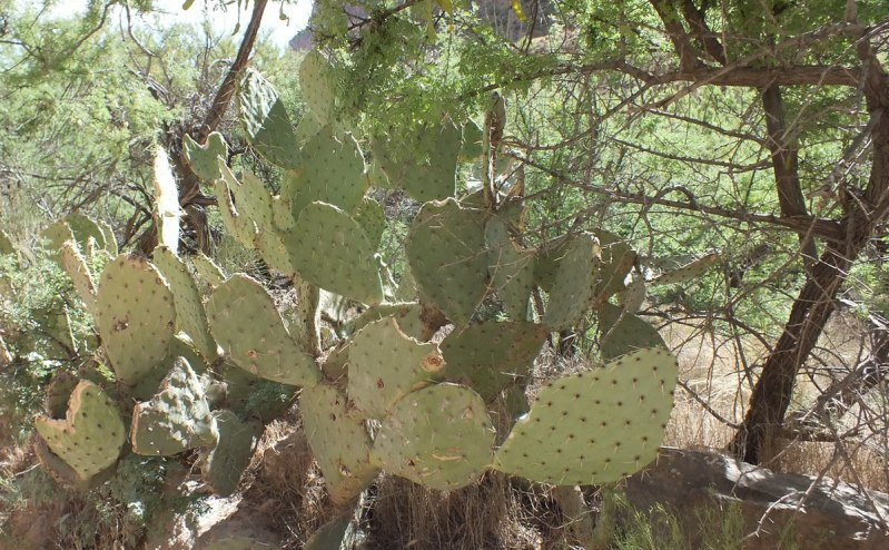 cactus on bright angel trail 21b