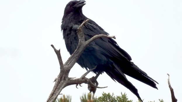 Common Raven on a tree at Grand Canyon National Park in Arizona, U.S.A.