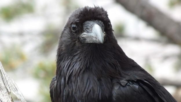 A Common Raven at Grand Canyon National Park in Arizona, U.S.A.