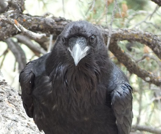 Common Raven at Grand Canyon National Park in Arizona, U.S.A.