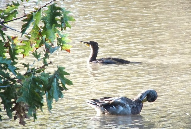 double-crested cormorant and duck, lynde shores