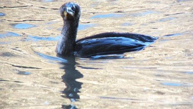 double-crested cormorant, whitby