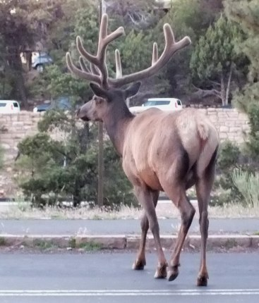 elk crosses roadway, grand canyon 2