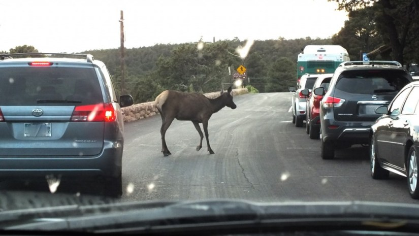 elk crosses roadway, grand canyon 4